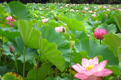Of The Seasons In Japan Lotus Garden
