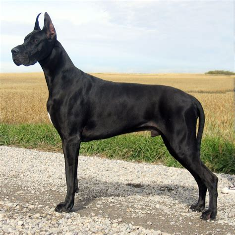 great dane dogs great dane dog breed info pictures petmd great dane dog breed 187 information pictures more