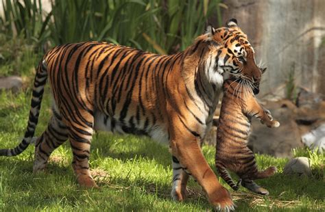 baby tiger with big tiger with images tiger carrying cub hd wallpaper and