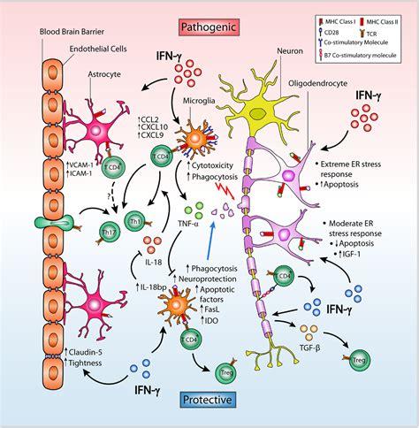 frontiers regulation of interferon gamma frontiers opposing roles of interferon gamma on cells of