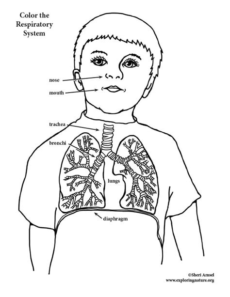coloring page for respiratory system respiratory system coloring page coloring pages
