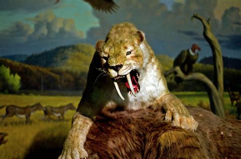 sabre toothed tiger wallpapers images  pictures
