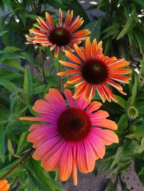 image gallery echinacea colors