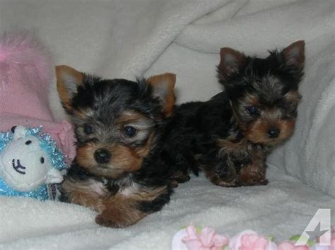 yorkie puppies sacramento akc teacup yorkie puppy 8 weeks for sale in sacramento california classified