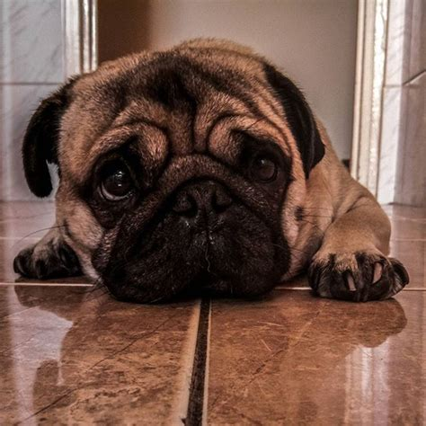 retro mops pug for sale best 25 mop ideas only on pugs pug puppies and komondor