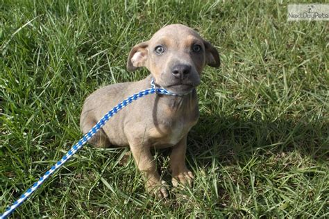 black cur puppies for sale in florida white foot black cur puppy for adoption near okaloosa walton florida