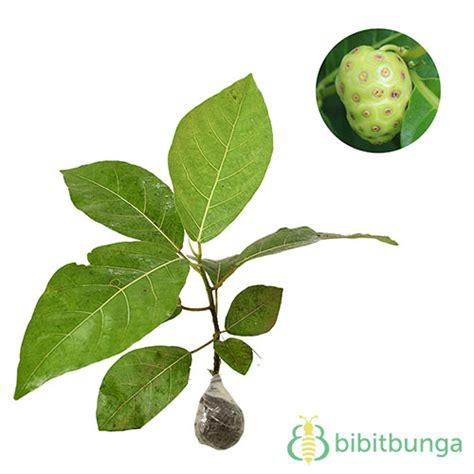 tanaman mengkudu indian mulberry bibitbunga