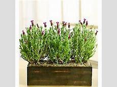 Lavender Plant Window Box Planter - FindGift.com 1 800 Flowers.com