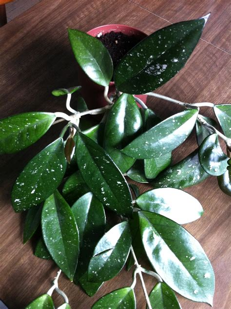 hoya carnosa leaves www pixshark com images galleries