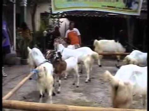 Kambing Etawa Why kambing etawa