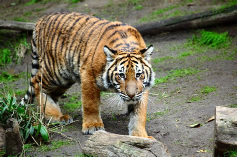 7 Most Animals by Most Beautiful Tiger Animals Pics Images Photos Pictures