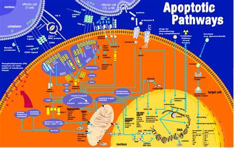 bc   apoptosis