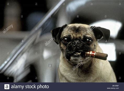 frank pug frank the pug in black ii mib 2 2002 stock photo royalty free image 31146298