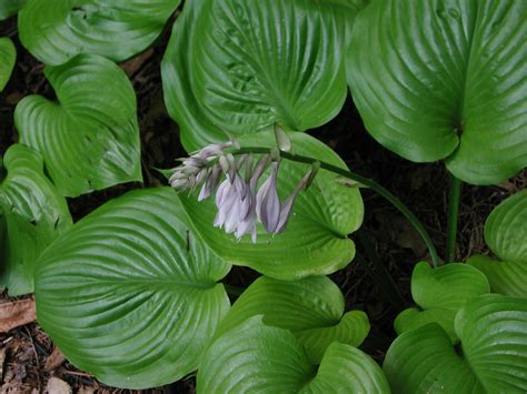 hosta flowers and leaves nature photo gallery