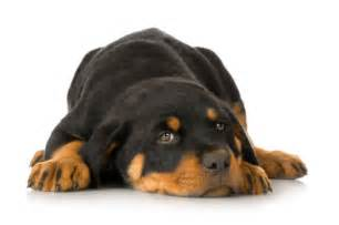 small rottweiler small breeds a to z complete list breeds picture