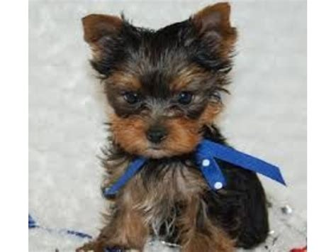 teacup yorkie breeders in arkansas top quality teacup yorkie puppies ready animals fayetteville arkansas