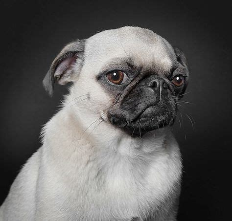 what is a of pugs called portraits of dogs with human like expressions by germany