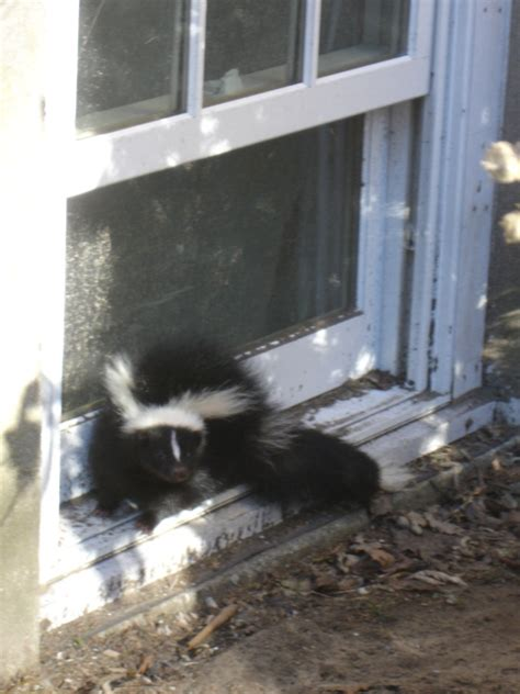 skunk smell in house 28 images 1000 ideas about skunk