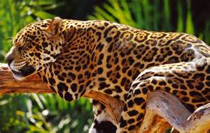 Show Me Pictures Of Jaguars Confira Alguns Projetos Para Salvar Animais Em Extin 231 227 O