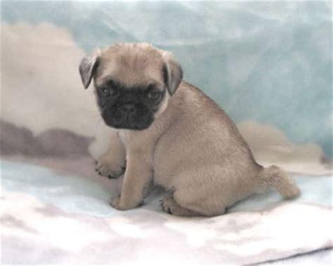 pug puppies edmonton pug puppies purebred ckc registered 500 00 up