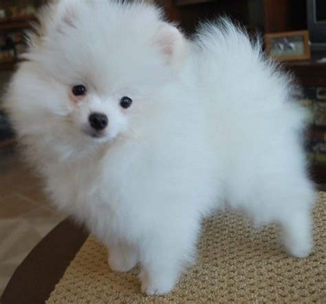 adopt a pomeranian pomeranian puppy adoption breeds picture