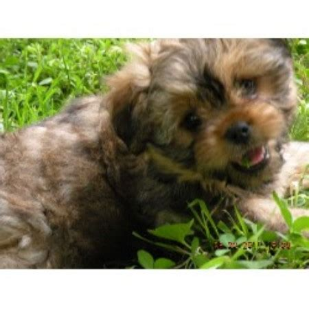 yorkie breeders in iowa yorkinese to cuddle terrier breeder in stuart iowa