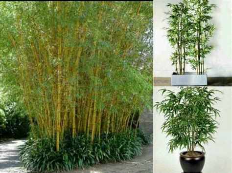 bambu in vaso acquista all ingrosso bamboo plants home da