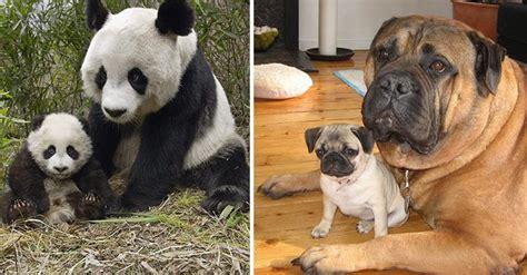 perros e hijos de fotografias de animales con sus mini me s todos son adorables