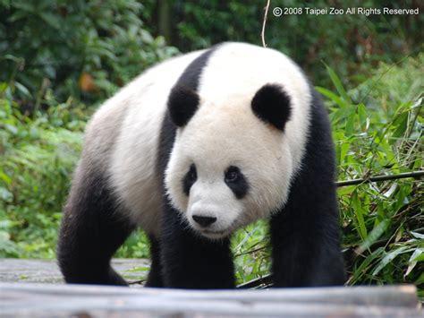 熊貓很可愛 到北京去玩 隨意窩 xuite日誌