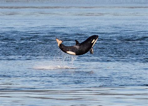 Energy Pod by Photos Of A Happy Baby Orca Leaping Out Of The Sea