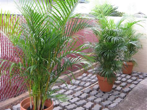 Patio Palm Tree by Areca Palm Trees Gigi Hawaii