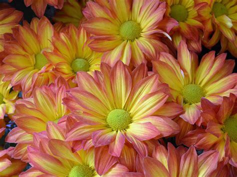 mums flower daisy mums hgtv