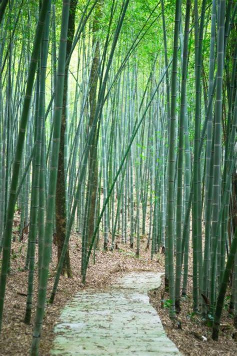 camino foto camino a trav 233 s de un bosque de bamb 250 descargar fotos gratis