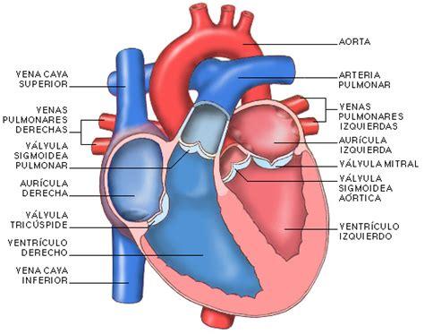 imagenes de corazones organo proyecto biosfera