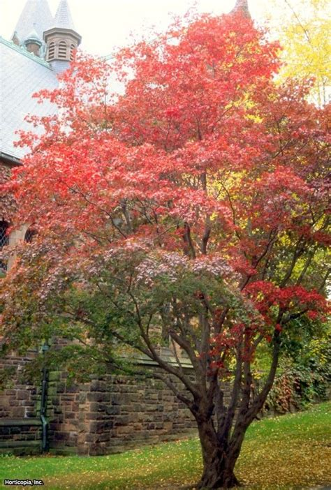 maple trees hardiness zone 4 japanese maple acer palmatum ideas for my plant zone maples always such great color