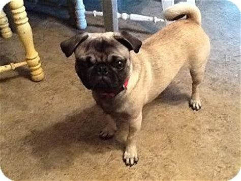 pug puppies md pug for adoption in greensboro maryland bojangles breeds picture