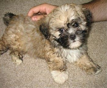 shih tzu poo pictures shih poo breed pictures hybrid dogs 1