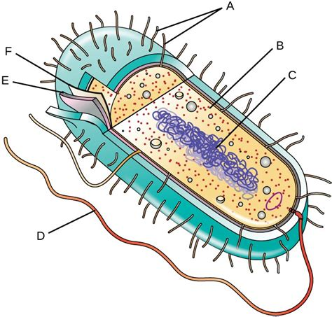 diagram bacterial cell bacteria cell diagram clipart best