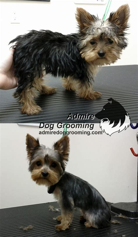 yorkie haircuts before and after 32 best images about before and after on pinterest