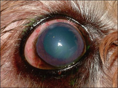 uveitis in dogs canine uveitis veterian key
