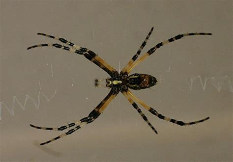 Garden Spider Ky Bug Pictures Writing Spider Scribbler Black And Yellow