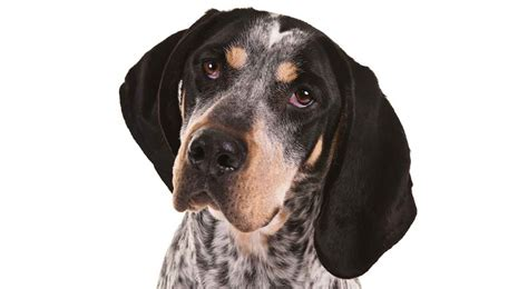 blue tick bluetick coonhound breed information american kennel club