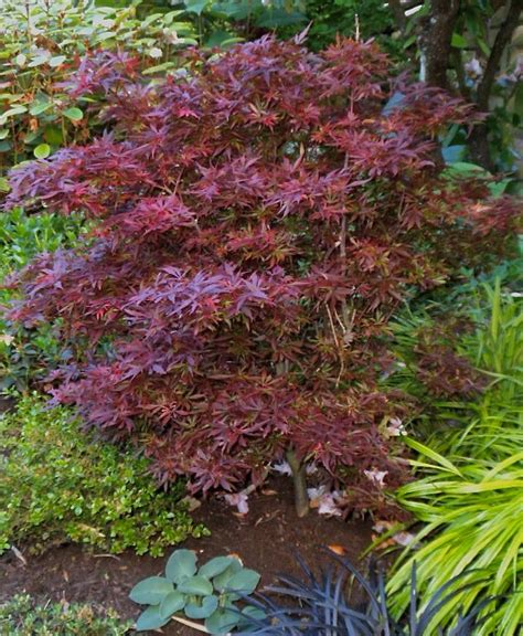 growth pattern of japanese maple acer palmatum shaina in my garden a great dwarf