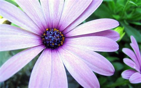 aster flowers wallpapers my note book purple aster wallpapers hd wallpapers id 10376