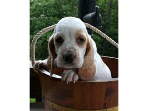 basset hound puppies for sale in missouri basset hound puppies in missouri