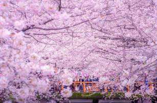 cherry blossoms cherry blossoms paint a lake purple making tokyo look like