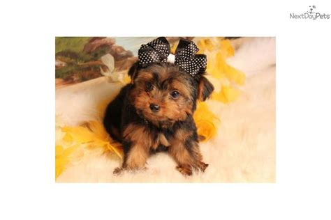 teddy bear cut for teacup yorkie pictures of teddy bear yorkie cut black hairstyle and