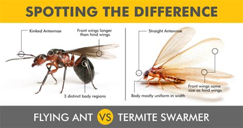 flying ants in my house flying termites sighted north brisbane 171 conquer termites brisbane s treatment