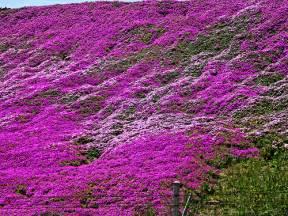 purple flowers flickr photo sharing