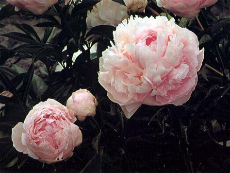 pillow talk pink mid season fragrant 90cm soft